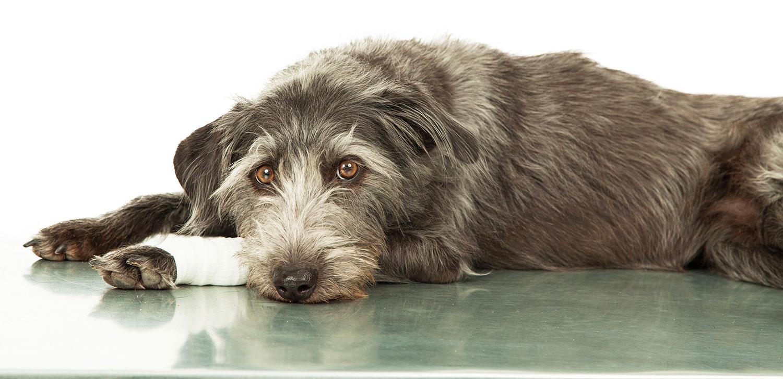 sad-looking dog on exam table with bandaged leg
